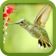 uccello suonerie